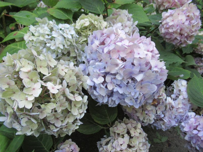 Bright attractive sweet light color hydrangea flowers blooming in mid-summer in a garden 2019 stock photos