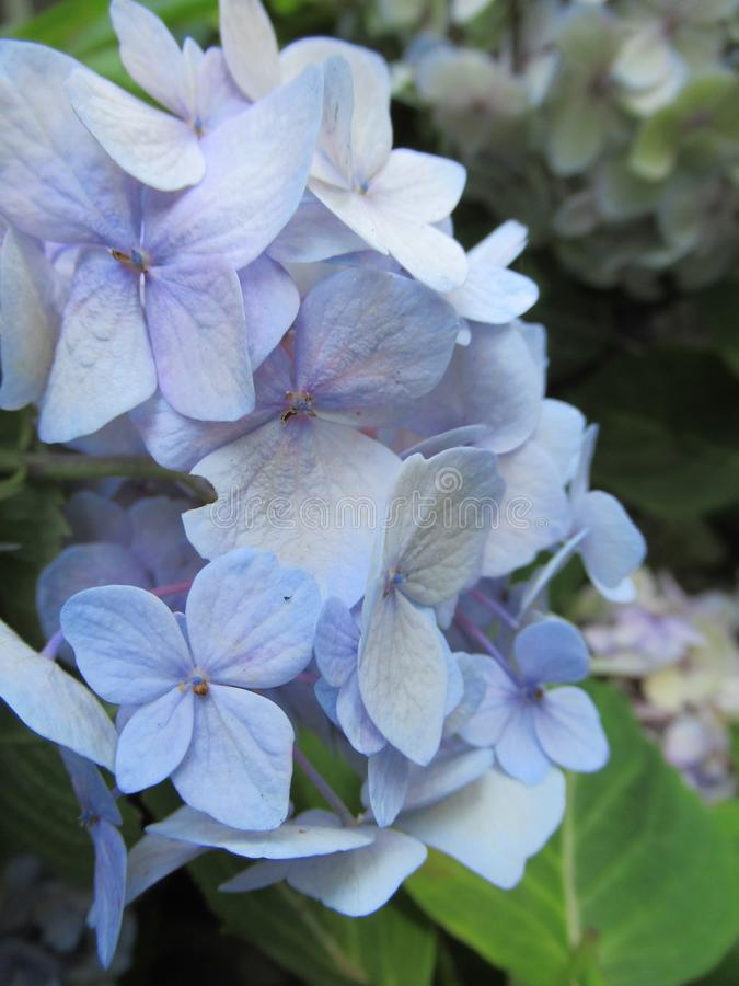 Bright attractive sweet light color hydrangea flowers blooming in mid-summer in a garden 2019 royalty free stock photo