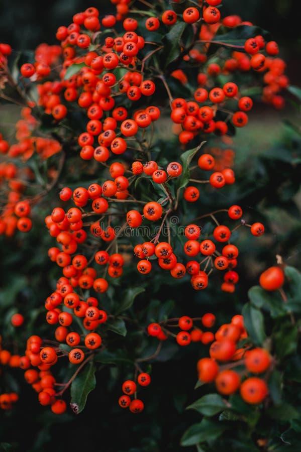 Bright autumn berries of wild mountain ash stock photos