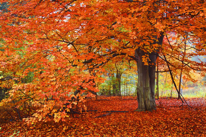 Bright Autumn Colors, Tree in the woods royalty free stock image
