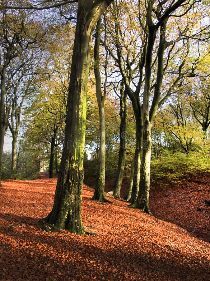 Bright autumn colours in a forest with fallen red leaves and tall trees. Bright autumn colours in a forest with fallen red leaves and tall trees on clear crisp stock images