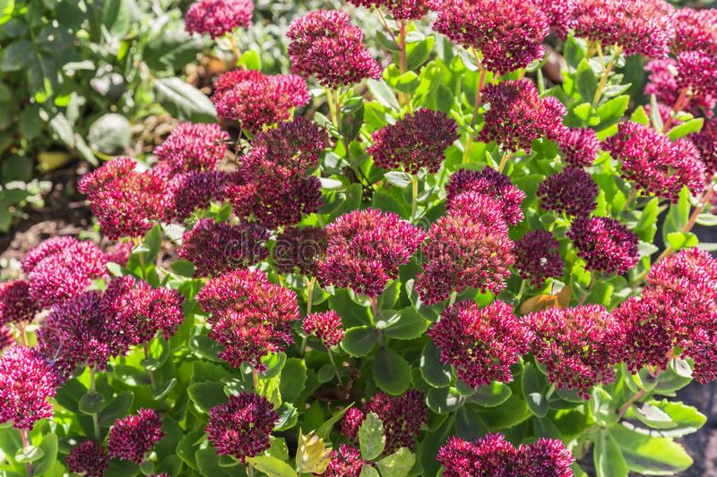 Bright autumn floral natural background with blooming pink flowers sedum (stonecrop) on a flowerbed in the garden. Succulent plan royalty free stock image