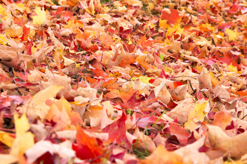 Download Bright Autumn Leaves stock photo. Image of maple, fall - 27310224