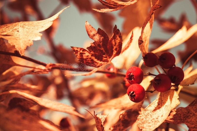 Bright autumn leaves and berries on the tree, autumn warm Sunny weather pond in the Park.  stock photography