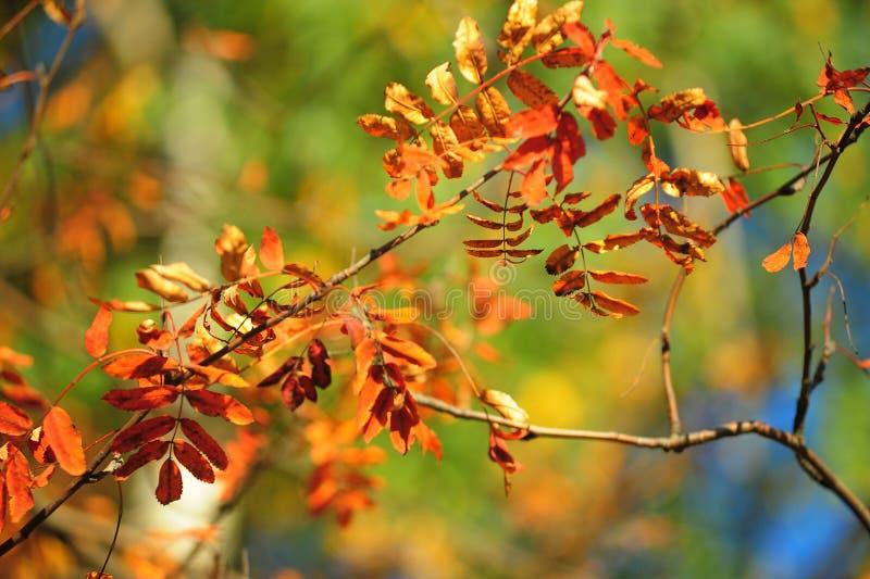 Autumn leaves of mountain ash. Bright autumn leaves of mountain ash stock photography