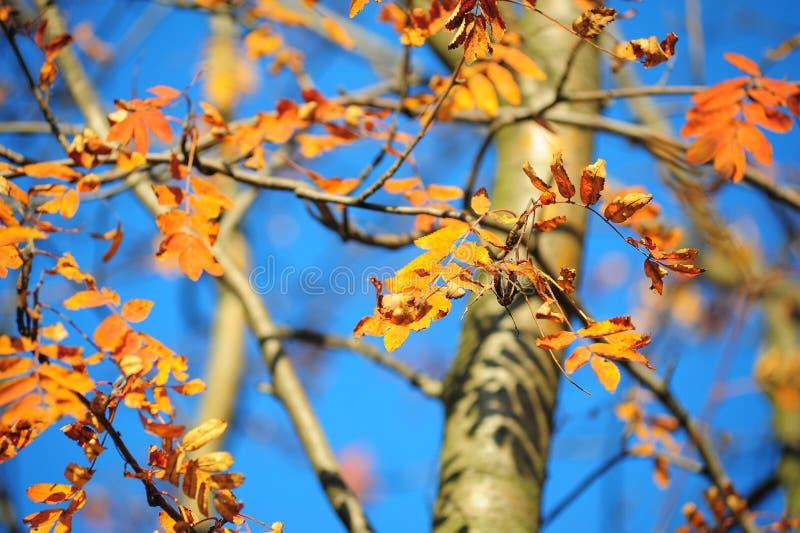 Autumn leaves of mountain ash. Bright autumn leaves of mountain ash royalty free stock photo