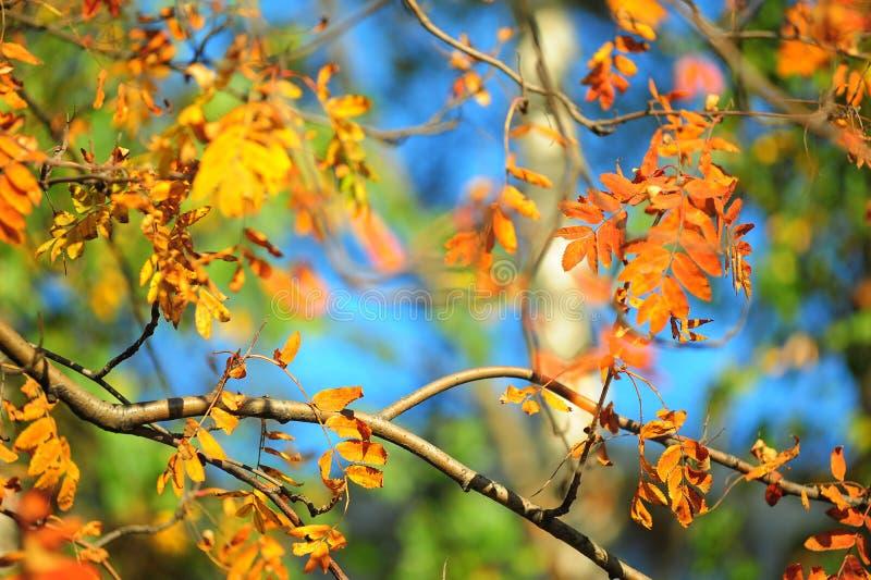 Autumn leaves of mountain ash. Bright autumn leaves of mountain ash royalty free stock image