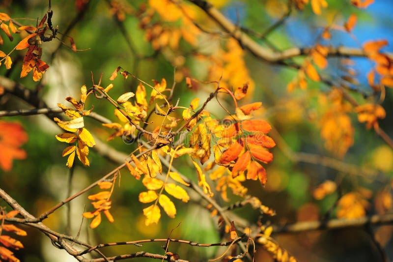 Autumn leaves of mountain ash. Bright autumn leaves of mountain ash stock image