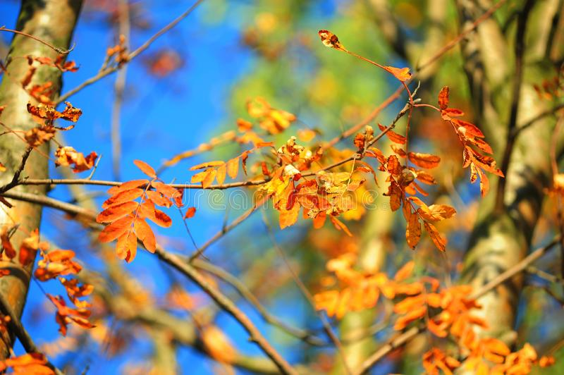 Autumn leaves of mountain ash. Bright autumn leaves of mountain ash stock photo