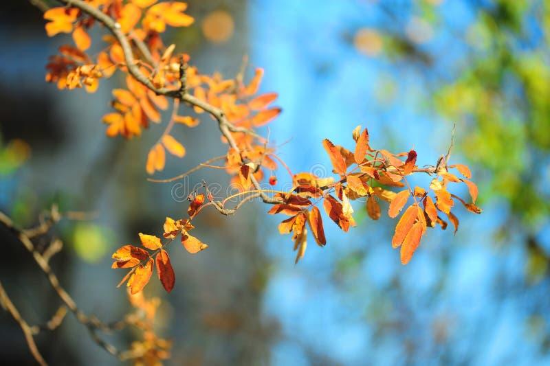 Autumn leaves of mountain ash. Bright autumn leaves of mountain ash royalty free stock photos