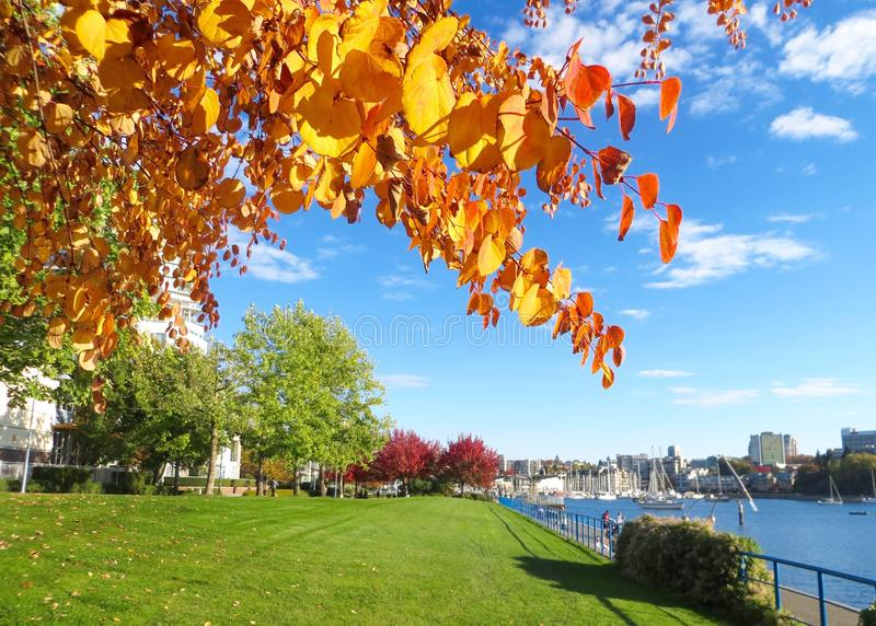 Bright Autumn Leaves of Orange and Yellow and Blue Skies near the False Creek Inlet. A beautiful and sunny autumn walk by the Vancouver, False Creek Inlet royalty free stock photos