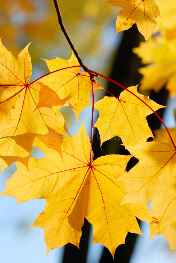 Bright autumn leaves stock photos