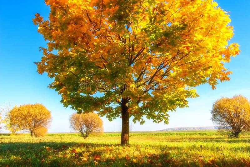 Bright autumn nature landscape. Beautiful colorful trees on sunny october day. Fall. Golden trees on grassy meadow. Scenery autumn stock image