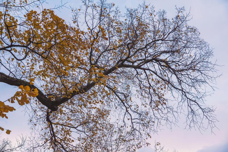 Bright autumn tree crowns, flying in the wind the last leaves, dry leafless branches. Bottom view, natural background royalty free stock photo