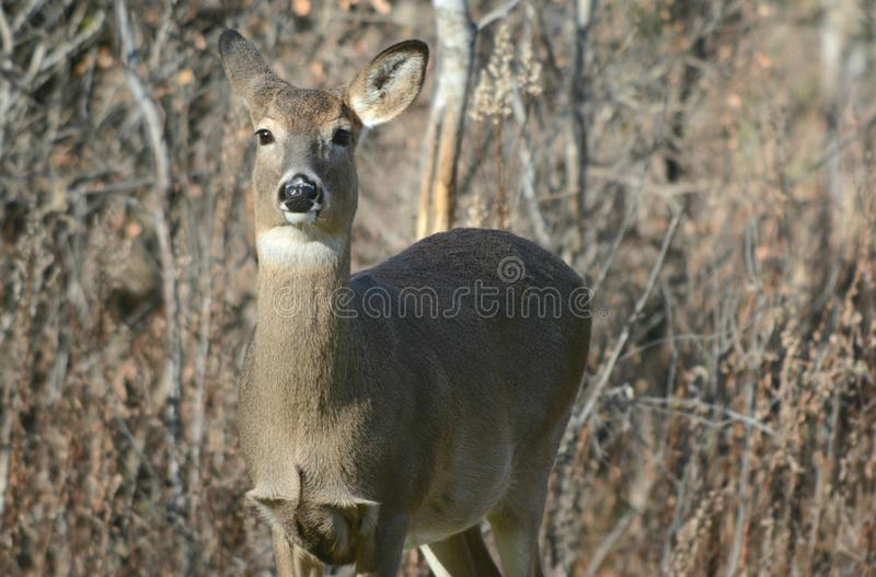Curious Whitetail Doe In A Field royalty free stock image