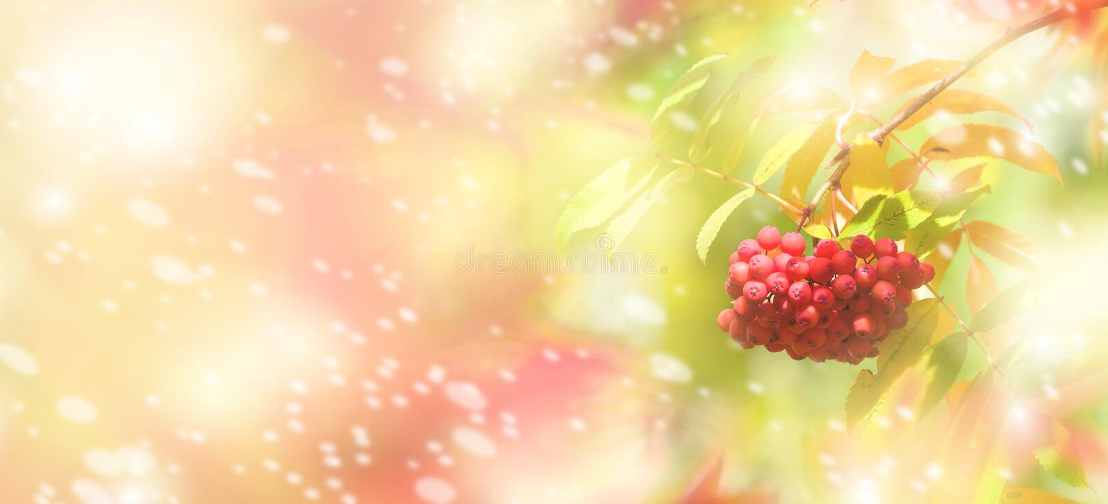 Bright autumnal background. With bunch of red mountain ash royalty free stock photos