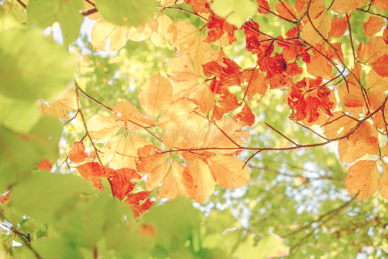 Bright background of colored leaves in autumn. Green, yellow and orange color. Bright background of colored leaves in autumn in a sunny day. Green, yellow and stock photography