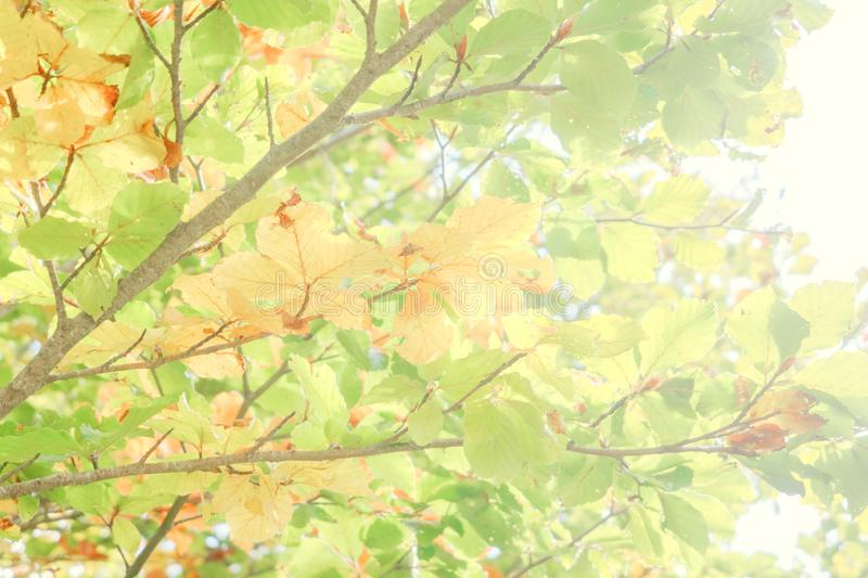 Bright background of colored leaves in autumn. Green, yellow and orange color. Bright background of colored leaves in autumn in a sunny day. Green, yellow and stock photo