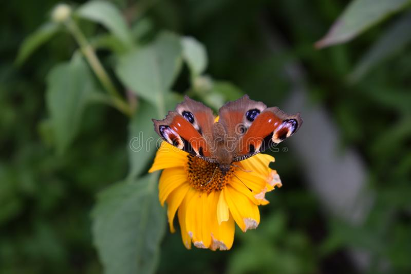 Bright butterfly sitting on a yellow flower stock images