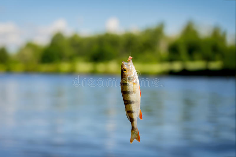 Bright beautiful caught fish of perch, hanging on hook with bait on background of natural landscape of water, sky stock images