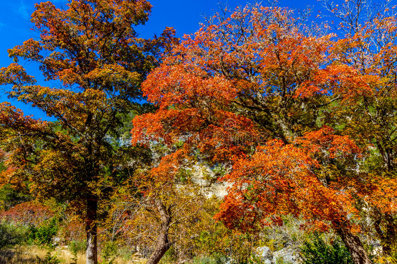 Bright Beautiful Fall Foliage on Stunning Maple Trees. In Lost Maples State Park, Texas royalty free stock image