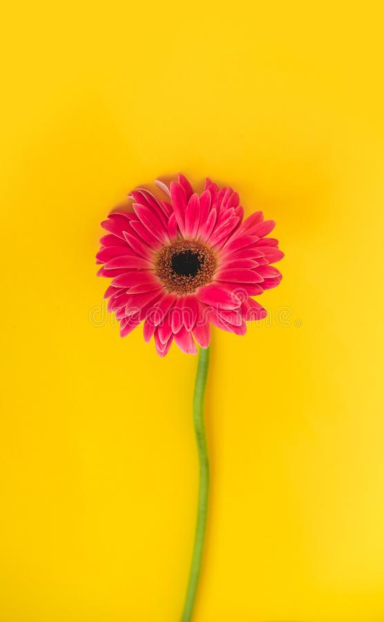 Bright beautiful gerbera flowers on sunny yellow background. Concept of warm summer and early autumn. Place for text. Lettering or product. View from above royalty free stock photo