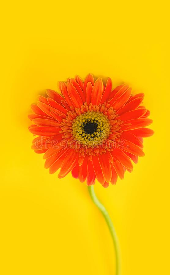Bright beautiful gerbera flowers on sunny yellow background. Concept of warm summer and early autumn. Place for text. Lettering or product. View from above stock photos