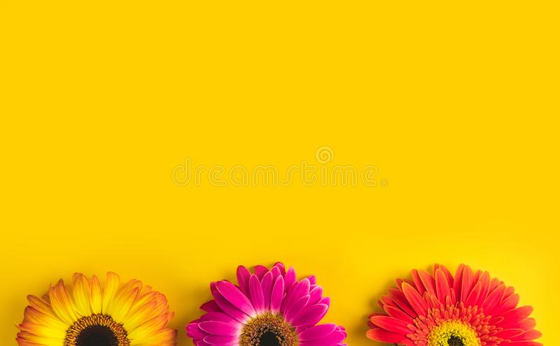 Bright beautiful gerbera flowers on sunny yellow background. Concept of warm summer and early autumn. Place for text. Lettering or product. View from above royalty free stock photos