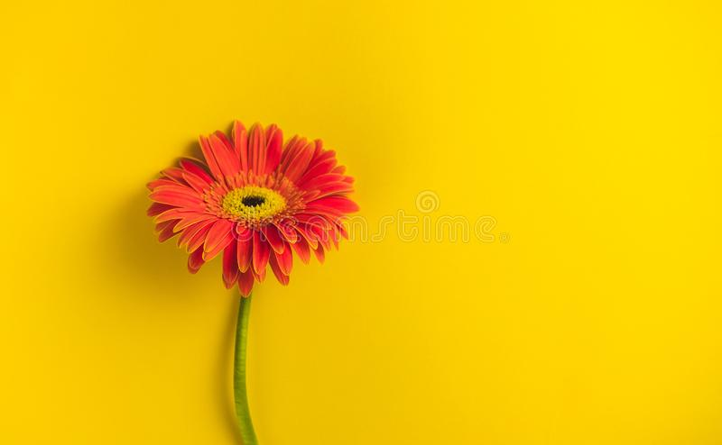 Bright beautiful gerbera flowers on sunny yellow background. Concept of warm summer and early autumn. Place for text. Lettering or product. View from above royalty free stock photography