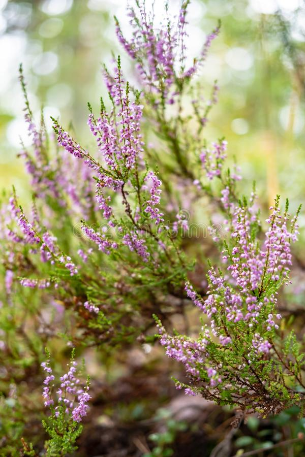 Bright, beautiful, lilac-pink bunch of common heather Calluna vulgaris, in the forest, on a blurred background of royalty free stock photo