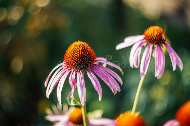 Bright beautiful pink flower on green blurred background with bokeh. Echinacea purpurea Magnus. Medicinal useful garden stock photography