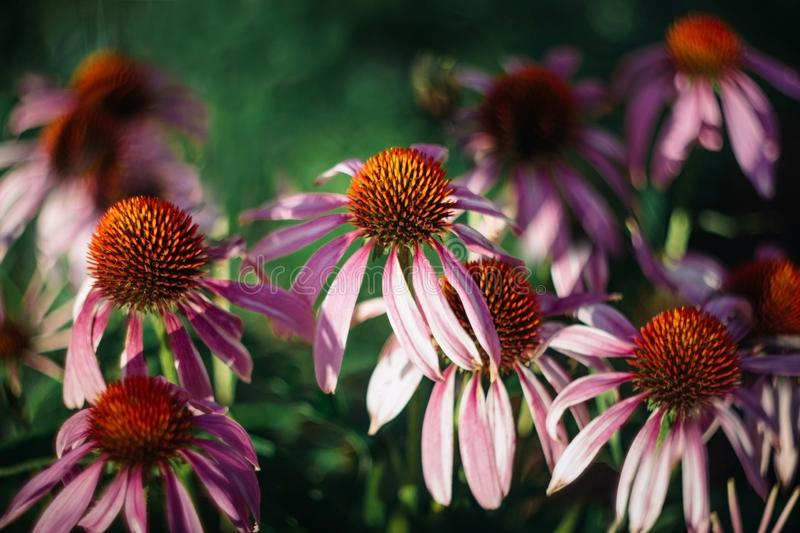 Bright beautiful pink flowers on green background. Echinacea purpurea Magnus. Medicinal useful garden plants royalty free stock photo