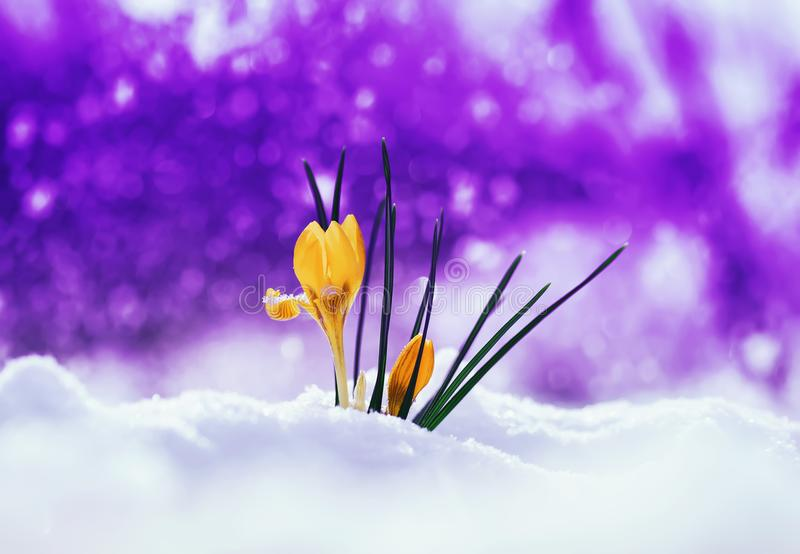 bright beautiful spring snowdrop flower Crocus making its way out from under the snow on festive purple background with shiny cir stock photos