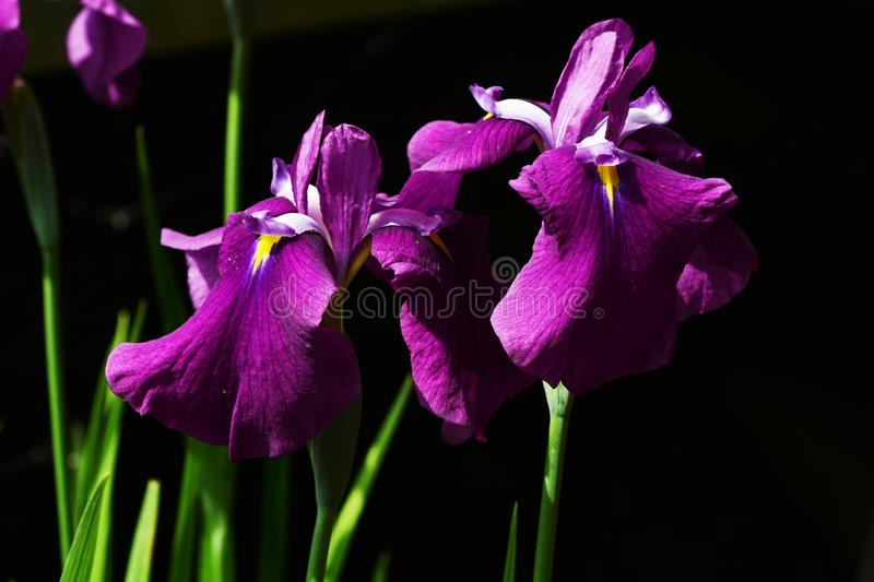 Iris. Bright bloom in early summer `Iris royalty free stock photo