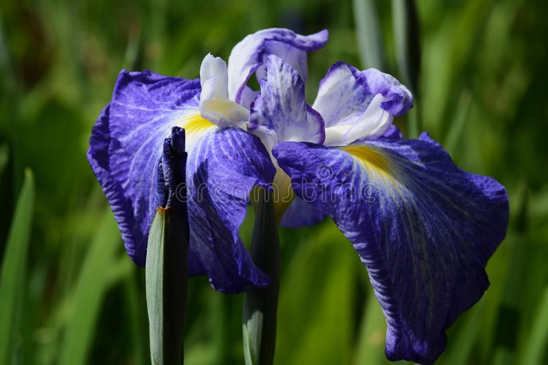 Iris. Bright bloom in early summer `Iris royalty free stock photography