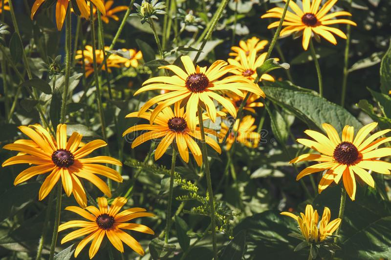 Bright bloom of yellow rudbeckia - black eyed susan flowers in g stock photo