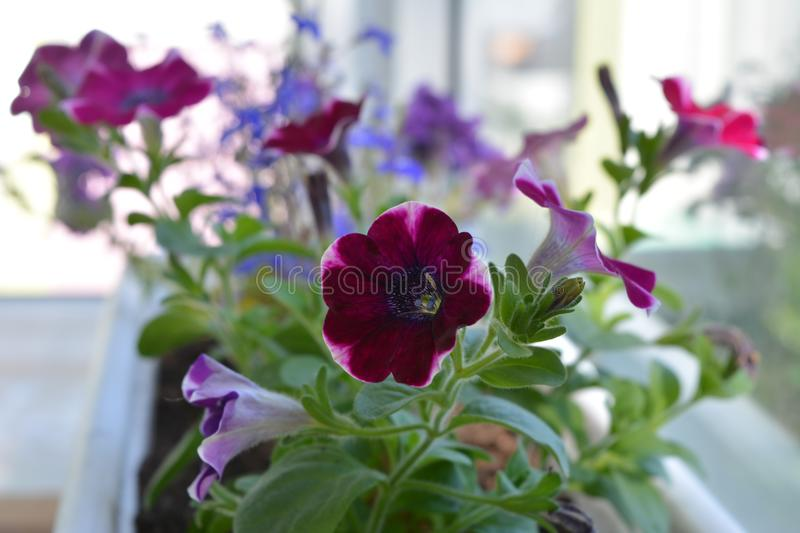 Bright blooming petunias in flower pot would make your balcony a small urban garden royalty free stock photo