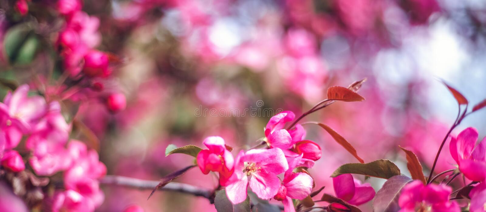 Bright blooming pink wild plum tree, beautiful spring floral background and texture stock photos