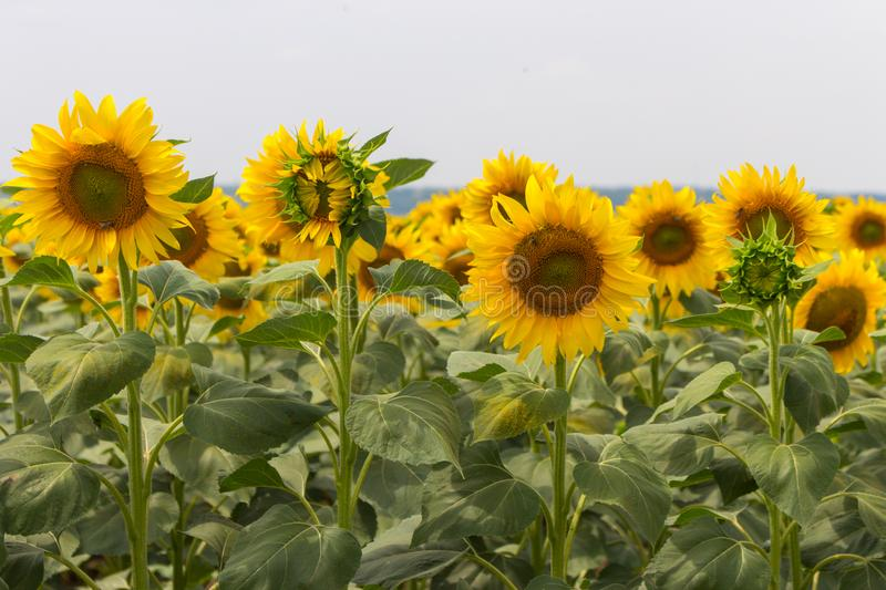 Bright blooming sunflowers meadow. Yellow sunflowers with green leaves closeup. Field of sunflowers. Sunny summer landscape. Agriculture and farm background royalty free stock images