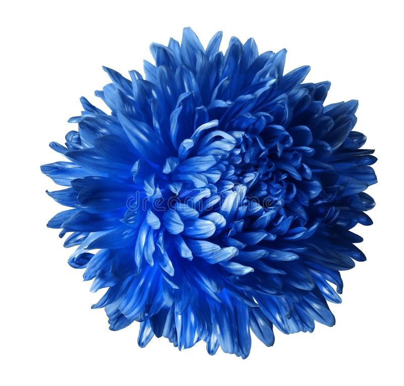 Bright blue aster flower isolated on white background with clipping path. Closeup no shadows. stock image