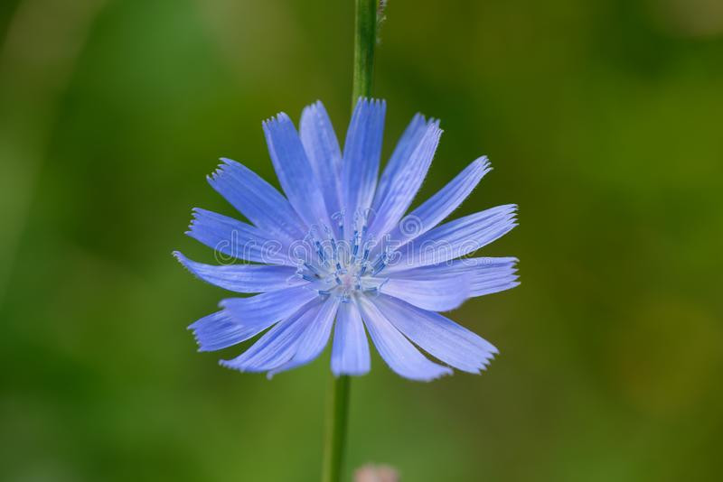 Bright blue flower of chicory stock photos