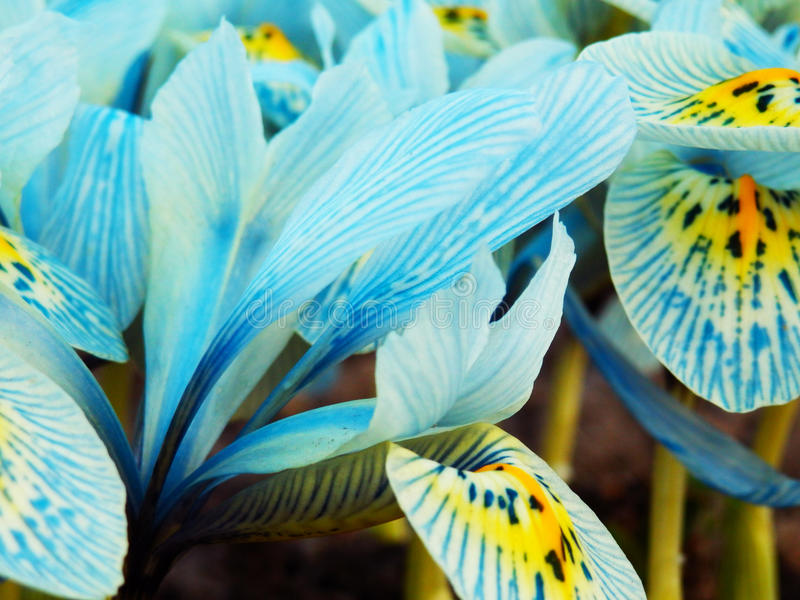 Bright blue iris flowers stock images