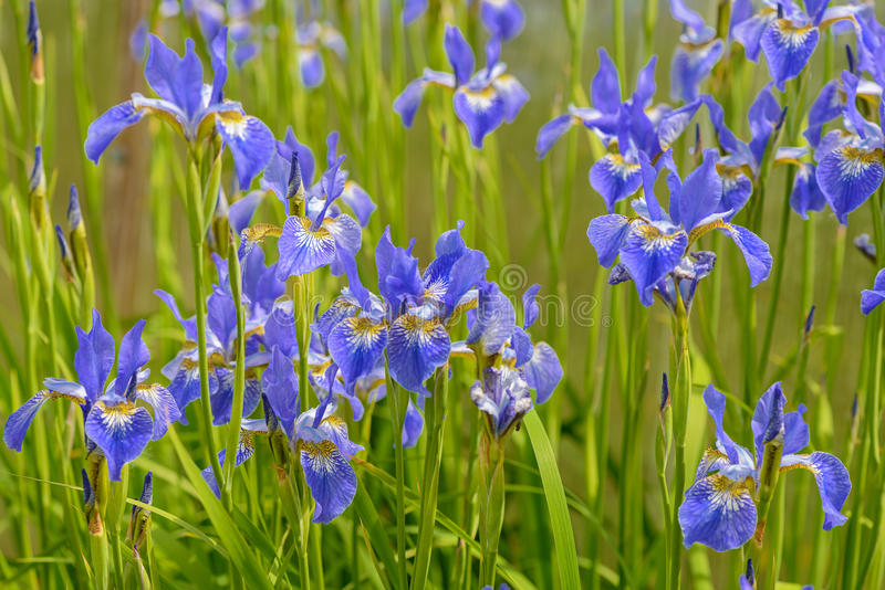 Bright blue iris flowers. Among the green grass stock photo