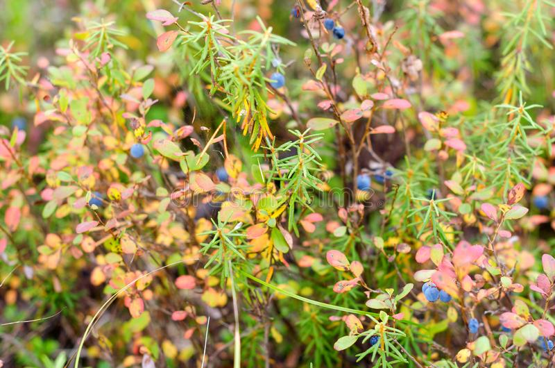 Bright blue juicy wild blueberries grow in colorful vegetation in autumn in the tundra. Bright blue juicy wild blueberries grow in colorful vegetation in autumn royalty free stock photos