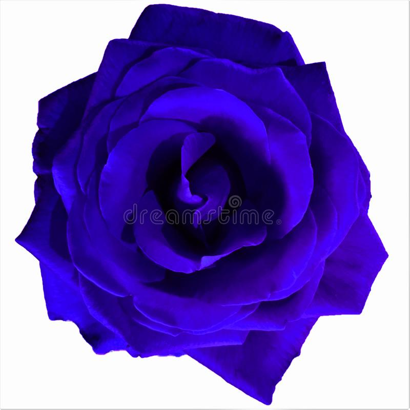 Bright Blue Large Rose with white background stock image
