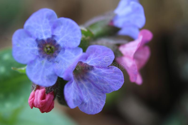 Bright Blue Lungwort Flowers Close up royalty free stock image