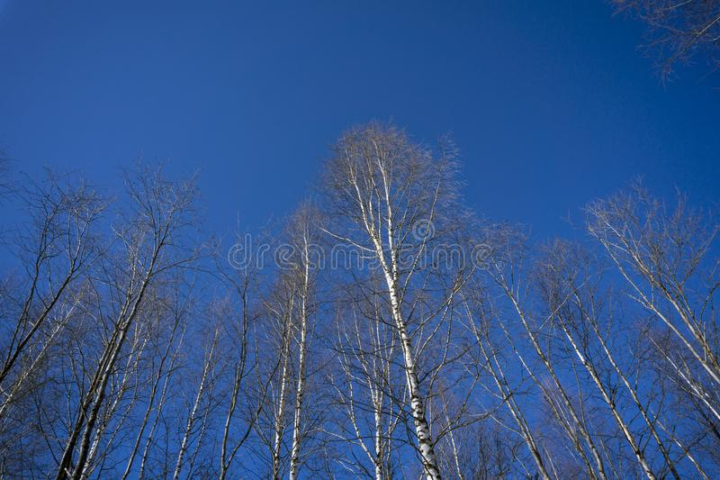 March sky against a backdrop of birches. Bright blue march sky against the background of ascending birches royalty free stock photo