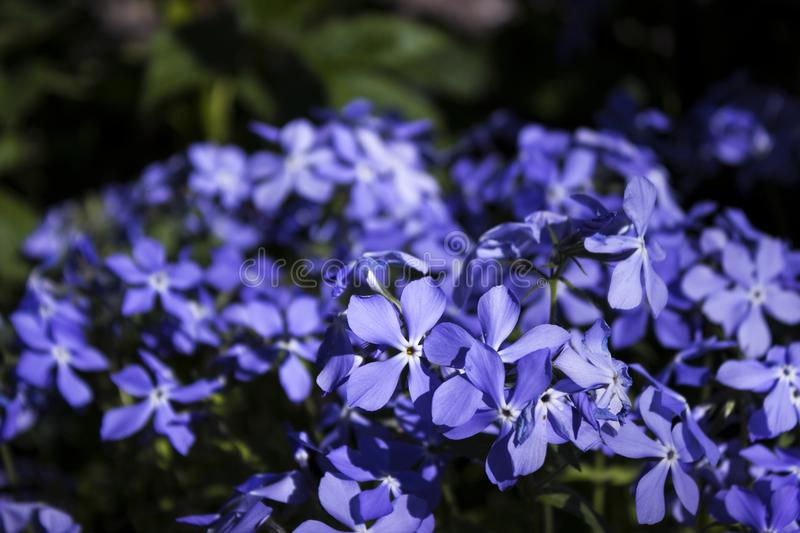 Bright blue phlox - many small spring flowers, botany, backgrounBright blue phlox - many small spring flowers, botany, background. Bright blue phlox - many small stock image
