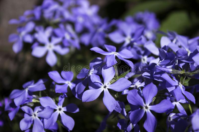 Bright blue phlox - many small spring flowers, botany, background. Close-up royalty free stock photos