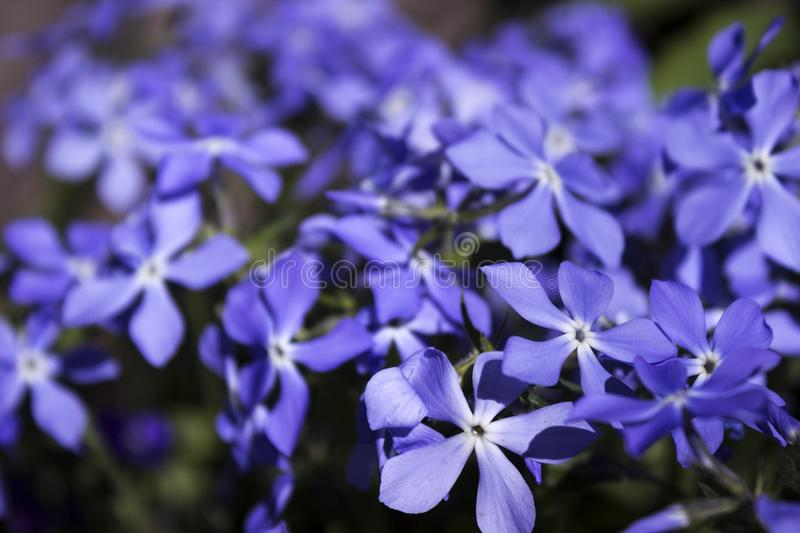 Bright blue phlox - many small spring flowers, botany, background. Close-up stock photo